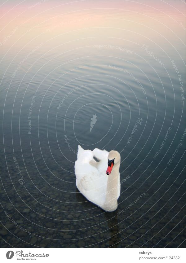 Sky Colour Water White Swimming & Bathing Lake Bird Waves Wing Float in the water Beak Duck Mixture Swan