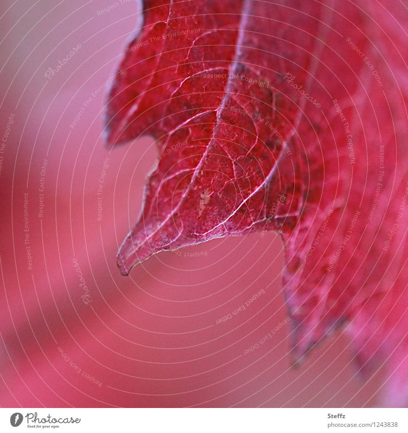 jagged red red leaf serrated blade Rachis Red wine-red Prongs Gaudy deep red autumn impression autumn leaf Eye-catcher autumn atmosphere October
