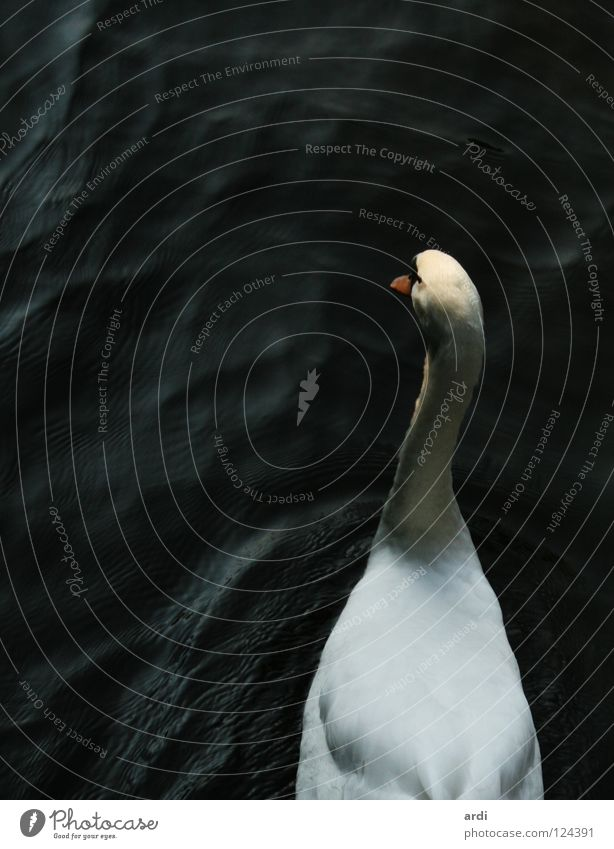 BirdPerspective Swan Animal Lake White Beak waterfowl Water River Feather Contrast sea fether nib ardi