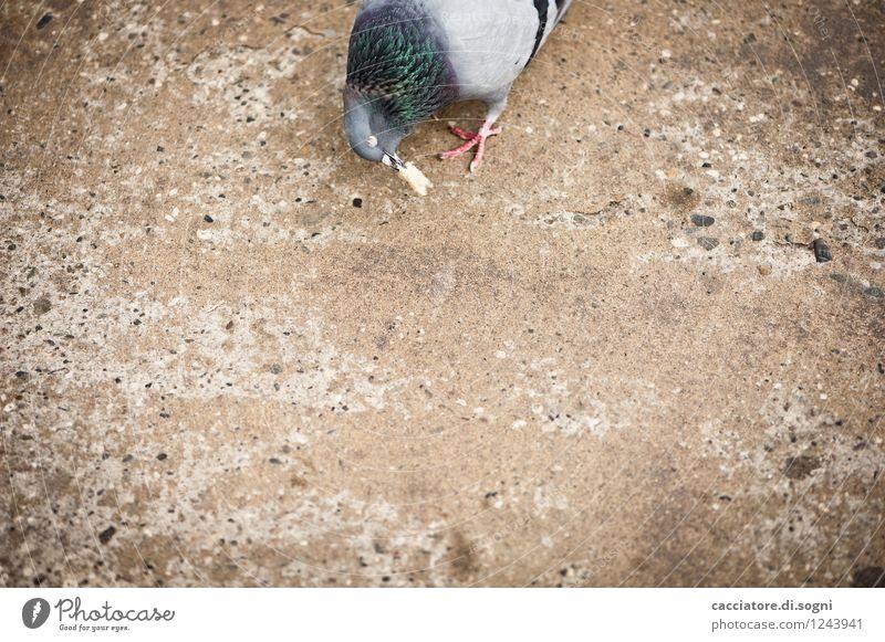 tidbit Bread Toast Traffic infrastructure Street Animal Bird Pigeon 1 To feed Feeding Simple Delicious Curiosity Gloomy Town Brown Gray Love of animals