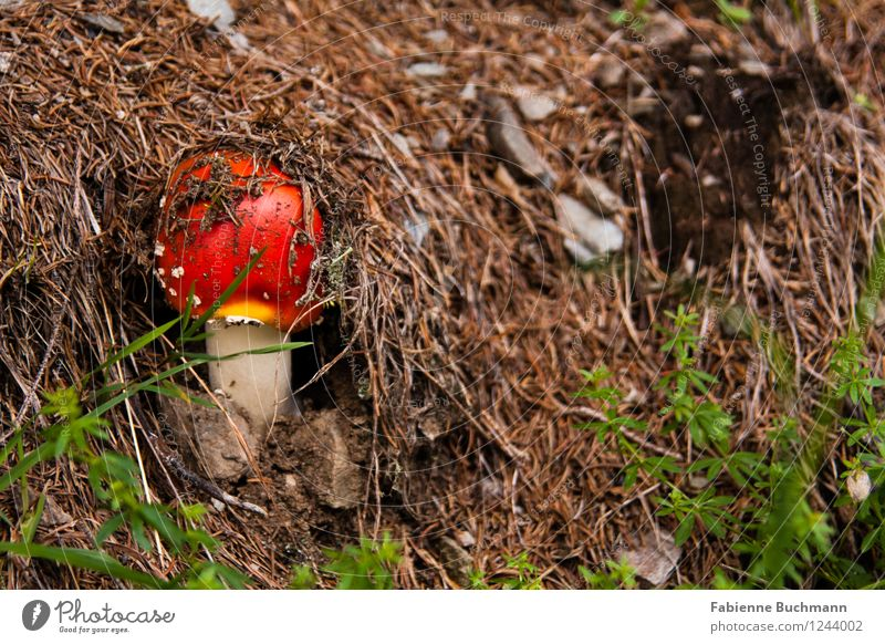 stick one's head out Nature Plant Autumn Amanita mushroom Fir needle Growth Small Brown Green Red White Woodground Forest Mushroom cap Stone Colour photo