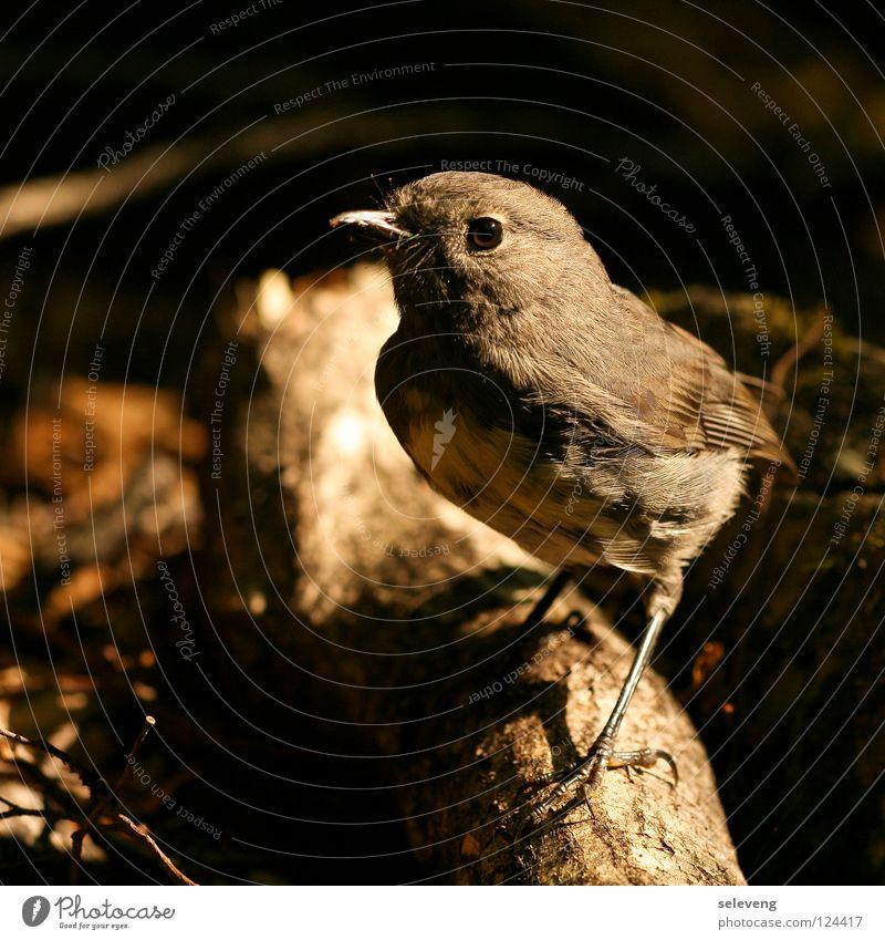 Nature Animal Bird Wait Feather Curiosity Near Appetite New Zealand Wood flour