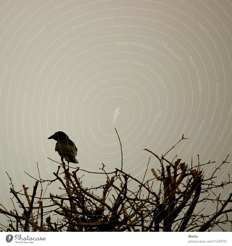 Winter Loneliness Cold Garden Gray Park Bird Sit Bushes Observe Branch Twig Dreary Branchage Crouch Raven birds