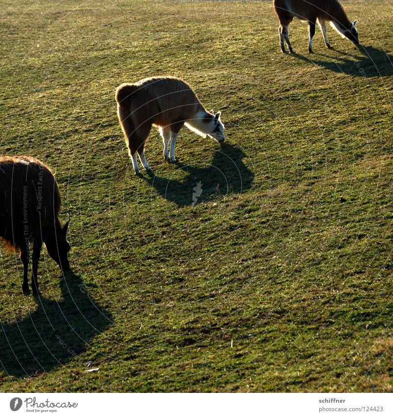 Sun Nutrition Animal Meadow Grass Diagonal To feed Mammal Feed Camel South America Freiburg im Breisgau Spit Llama Even-toed ungulate