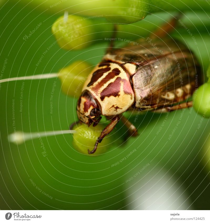 Green Animal Yellow Blossom Brown Glittering Asia Insect Virgin forest Beetle Armor-plated Dazzling Botanical gardens