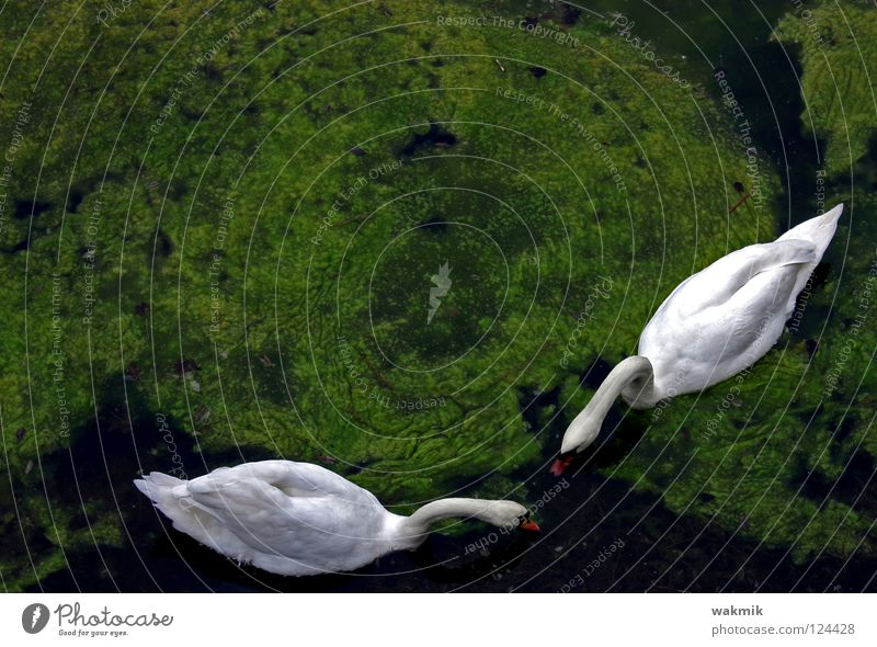 swans White Swan Green Innocent Glittering Cold Pure Animal Full Love Bird Spring Peaceful Nature two togetherness Idyll Organic produce Organic farming Free