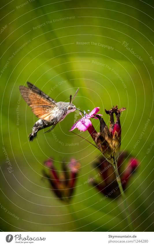 Pigeon tail on carthusian pink Environment Nature Plant Animal Sunlight Spring Summer Climate Climate change Weather Flower Blossom Wild plant Garden Park