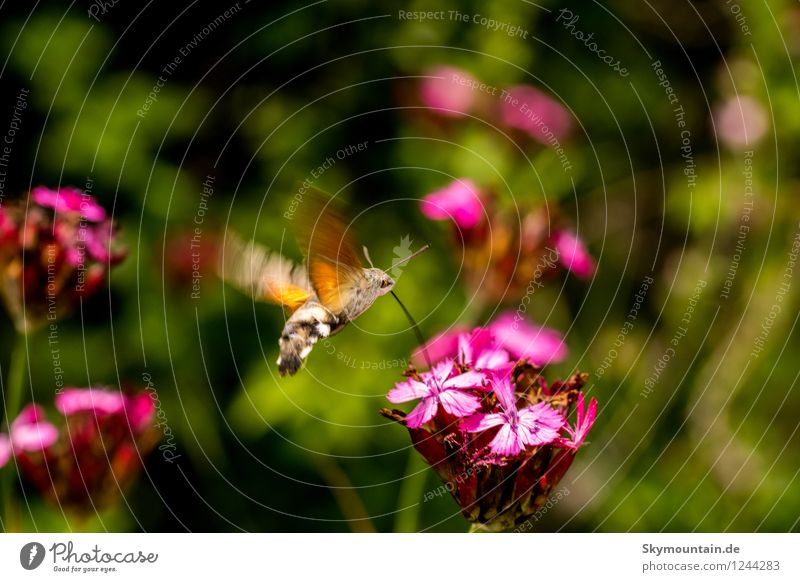 Pigeon tail on carthusian pink Environment Nature Plant Animal Sunlight Spring Summer Climate Climate change Weather Beautiful weather Flower Wild plant Garden
