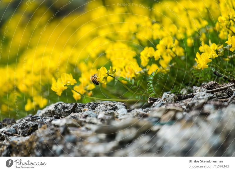 Nature Plant Beautiful Colour Flower Mountain Environment Yellow Blossom Spring Natural Stone Rock Illuminate Blossoming Alps