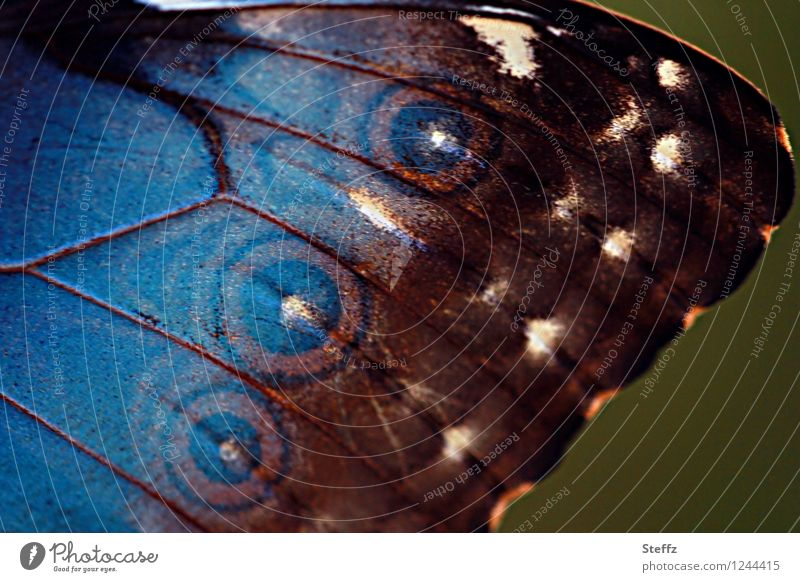 style your wings XIII Nature Butterfly Wing Browns Noble butterfly morphoid age blue Morphof age Near Natural Beautiful Blue Attentive Inspiration Circle