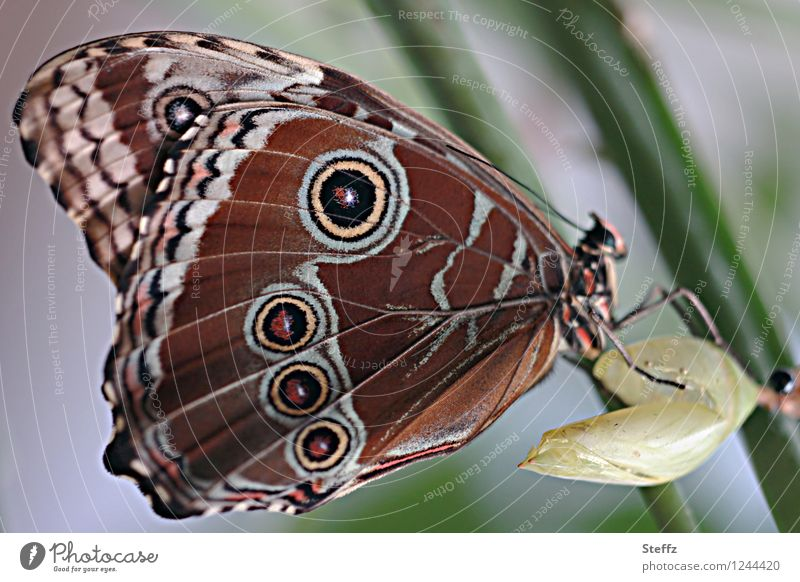 style your wings XI Nature Butterfly Wing Browns Noble butterfly morphoid age Insect New Beautiful Green Attentive Ease Structures and shapes Pattern Slip