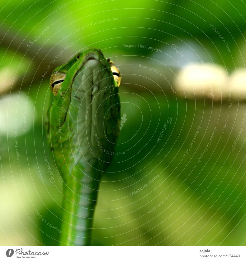 Green Tree Animal Eyes Asia Barn Poison Snake Muzzle Reptiles Singapore Slit Keyhole Incandescent Viper Botanical gardens