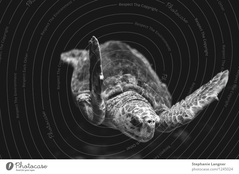 turtle Aquarium Swimming & Bathing Turtle Turles Flying Oceanum Hover tranquillity Old Black & white photo Underwater photo Deserted Isolated Image