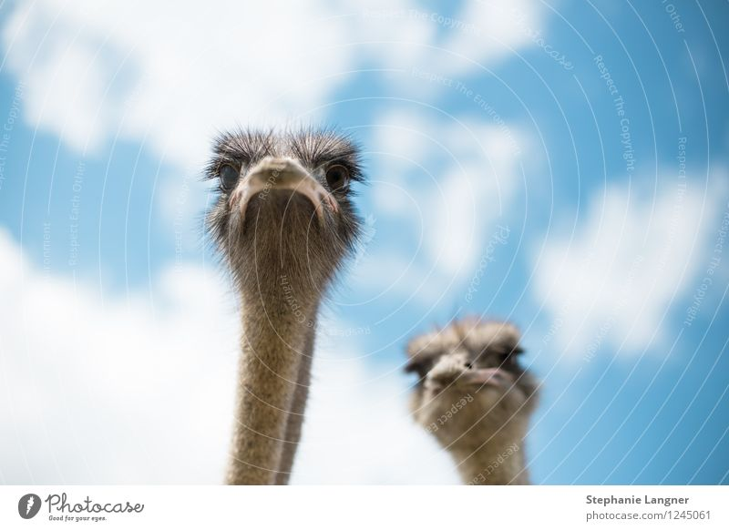 Animal Curiosity Farm animal Ostrich Poultry