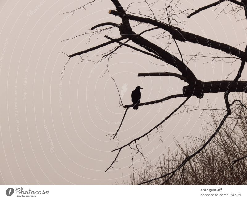 Krah. My branch. Crow Winter Tree Bird Calm Black & white photo Branch alone silence solitude