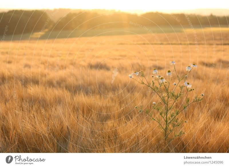 Nature Beautiful Summer White Relaxation Calm Yellow Warmth Blossom Natural Moody Bright Field Illuminate Growth Gold