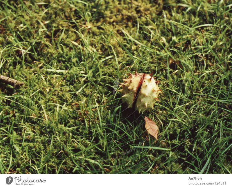Green Autumn Grass Floor covering Thorn Chestnut tree