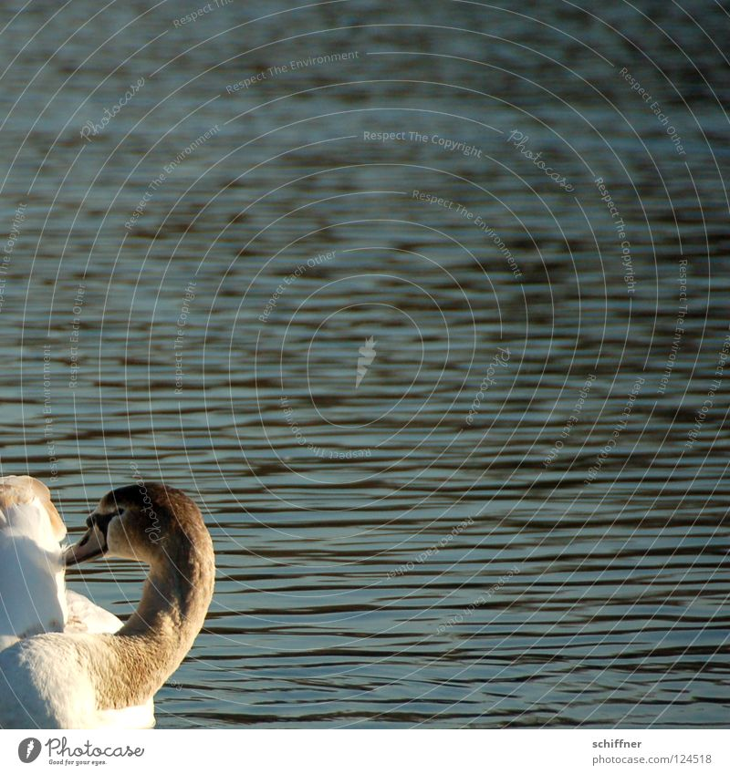 Water White Gray Lake Bird Waves Feather Cleaning Pond Classical Beak Swan Haircut Swan Lake