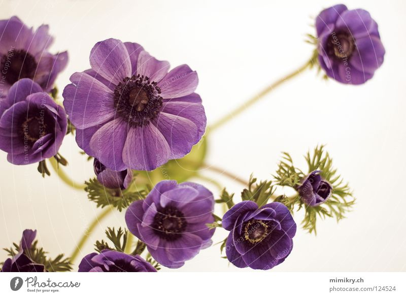 Blue Flower Spring Decoration Violet Bouquet Spring flower Colour Anemone