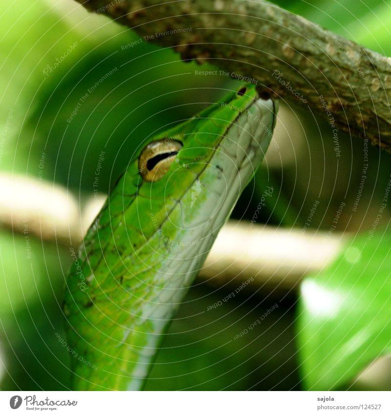 Green Tree Animal Eyes Head Asia Poison Snake Reptiles Singapore Slit Retreat Viper Botanical gardens