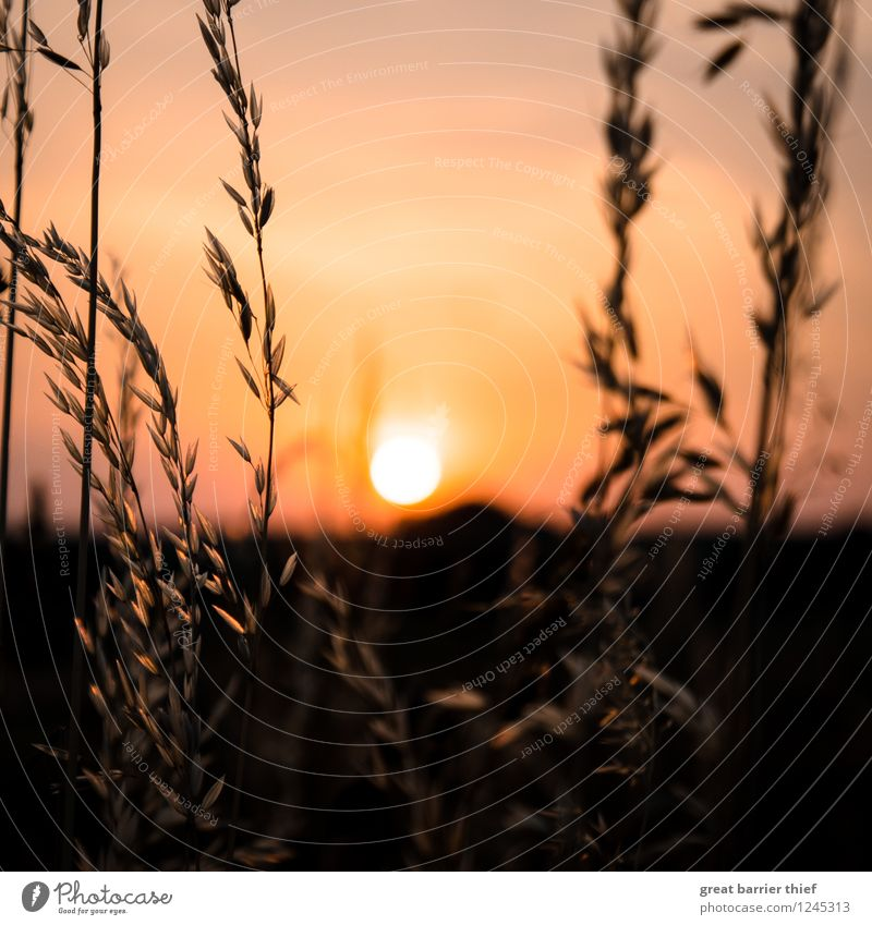 Sunset in the grain field Environment Nature Landscape Animal Sky Cloudless sky Sunrise Sunlight Summer Weather Beautiful weather Plant Agricultural crop Field