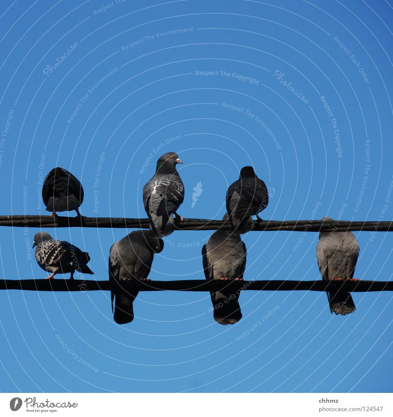 Relaxation Bird Wait Sit Multiple Electricity Information Pigeon High voltage power line Rest Delivery person Plagues Homing pigeon