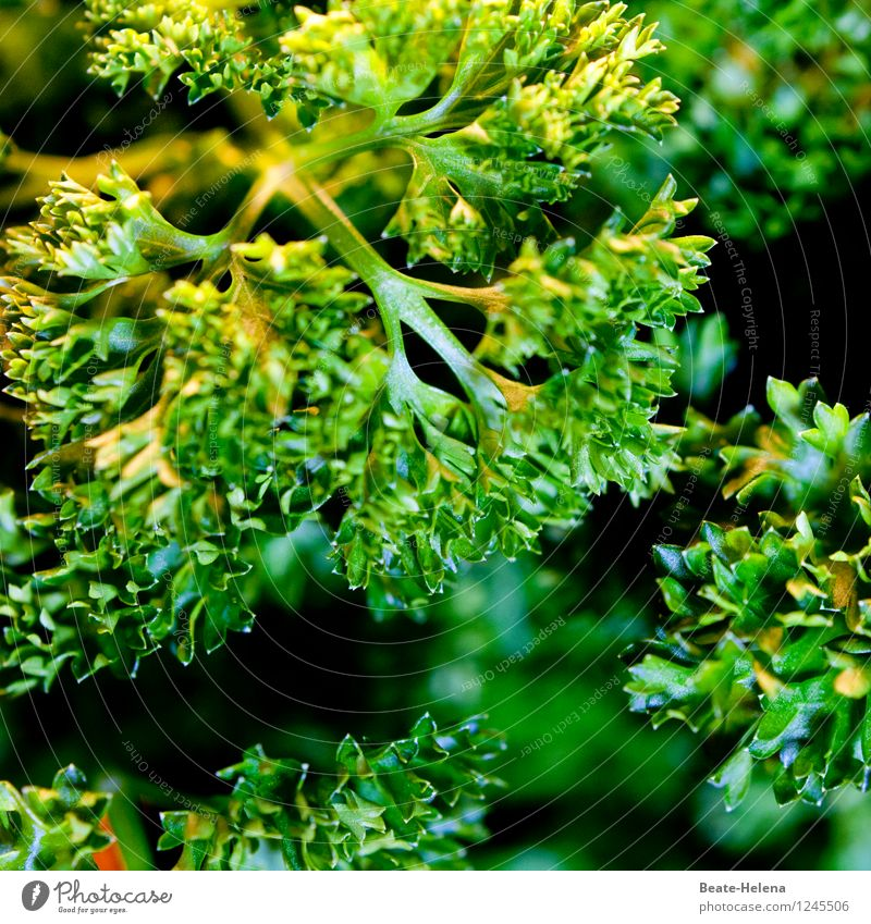 In the dense parsley jungle Food Herbs and spices Nutrition Vegetarian diet Nature Plant Garden Eating To enjoy Fresh Healthy Green Joie de vivre (Vitality)
