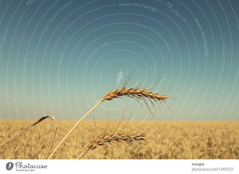 Two ears of grain protruding in a cornfield Food Grain Dough Baked goods Bread Roll Nutrition Organic produce Vegetarian diet Agriculture Forestry Environment