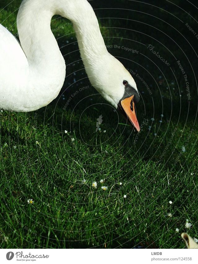 gooseneck Swan Bird Animal Beak Waves White Black Green Meadow Daisy Ask Search Grass Lake Feeding Dive Living thing Beautiful Feather Noble Graceful Neck Water