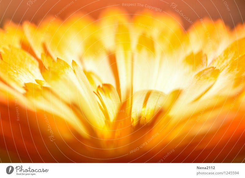 Fire Flower III Environment Nature Plant Summer Blossom Garden Park Esthetic Hot Dry Warmth Yellow Gold Orange Dried flower Love Colour photo Exterior shot