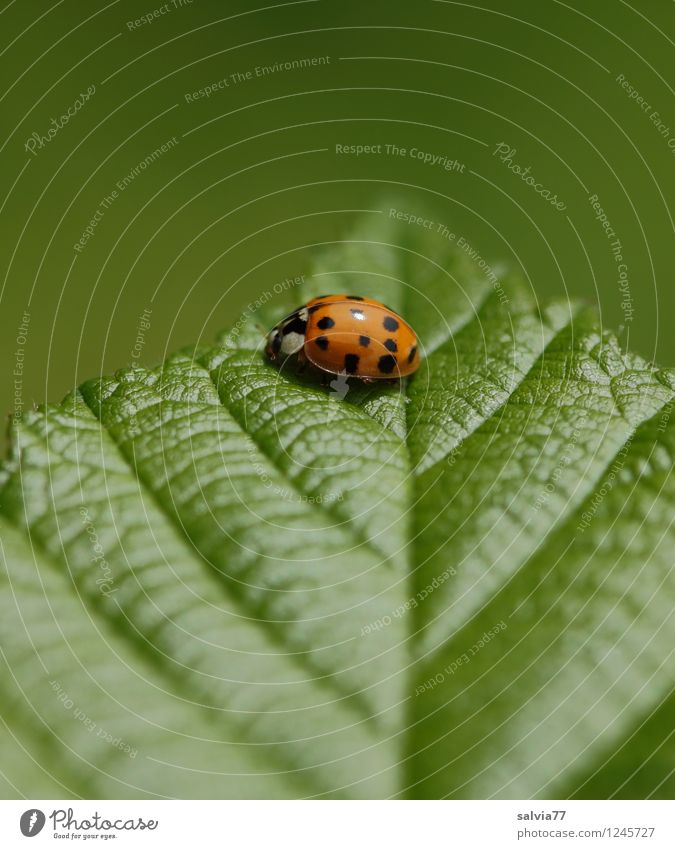 on top Environment Nature Plant Animal Spring Summer Leaf Foliage plant Rachis Leaf green Beetle Ladybird Insect 1 Touch Crawl Sit Friendliness Glittering Happy