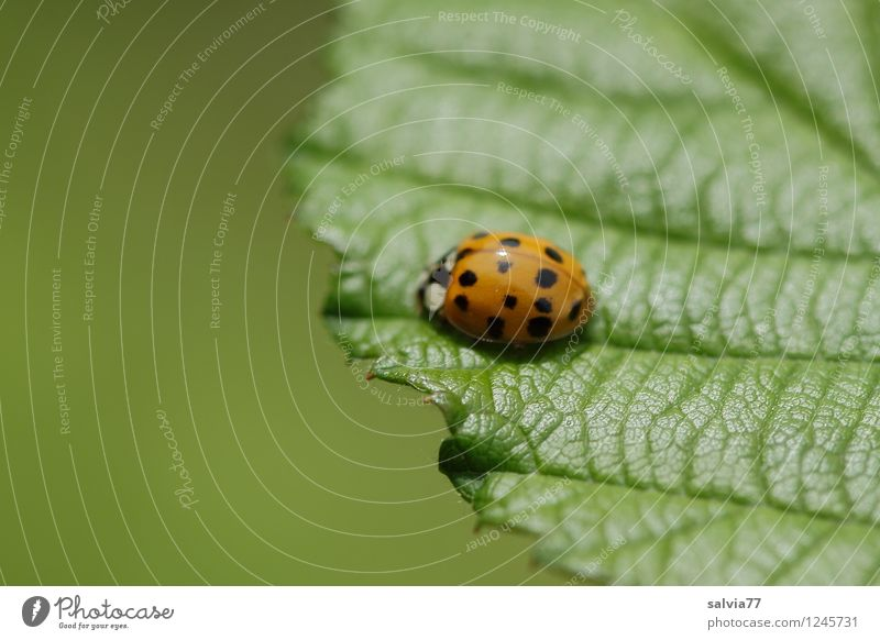 at the edge of the sheet Environment Nature Plant Animal Spring Summer Leaf Foliage plant Wild animal Beetle Ladybird 1 To enjoy Crawl Sit Friendliness Fresh