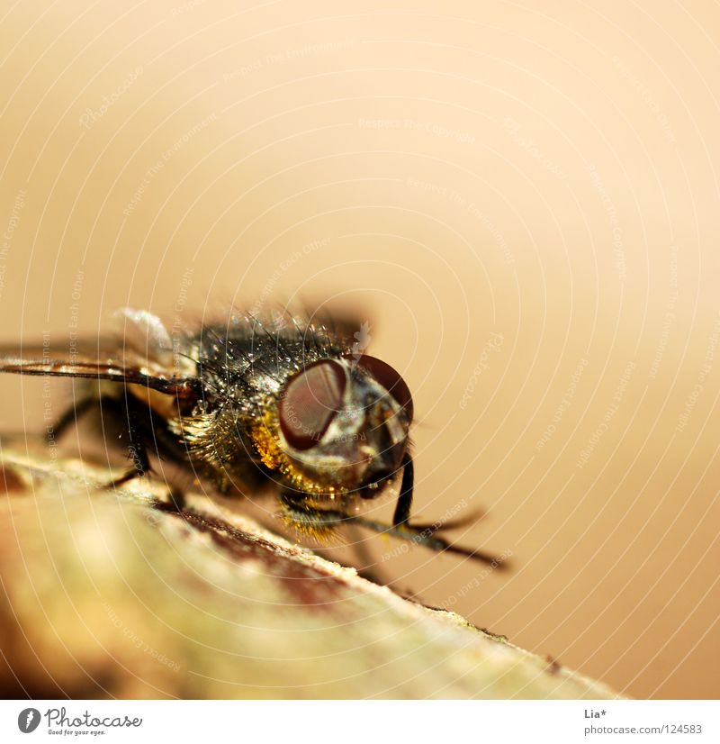 Small Flying Aviation Wing Cleaning Insect Crawl Beige Biology Mosquitos Plagues Compound eye Nuisance