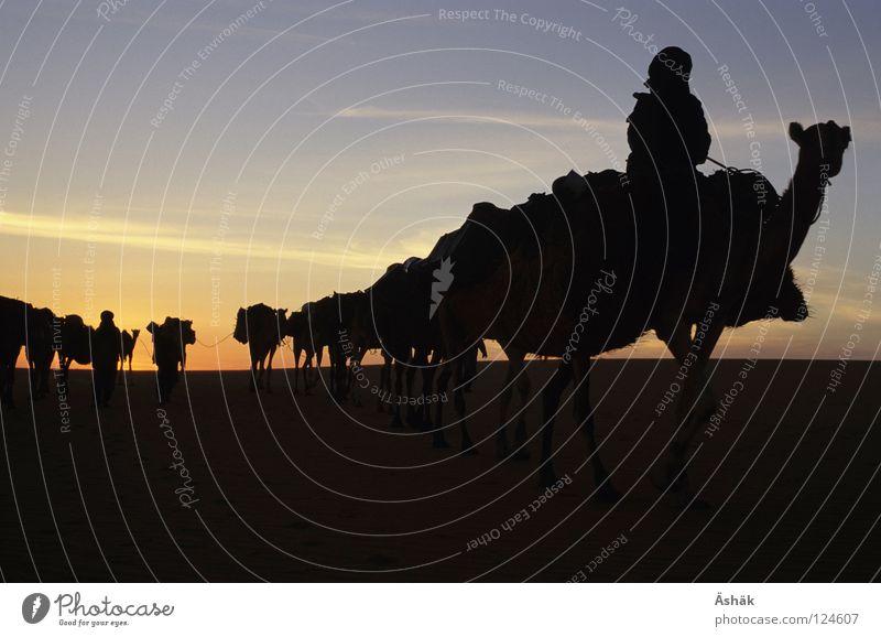 Sand Africa Desert Human being Animal Sunset Camel Sahara Caravan Nomade Niger Ténéré desert