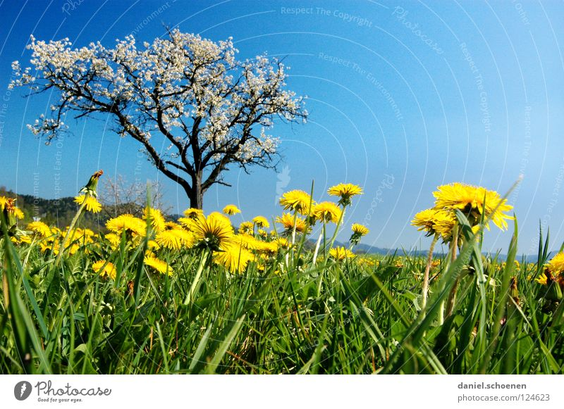 Tree Flower Green Blue Summer Vacation & Travel Yellow Meadow Blossom Grass Spring Perspective Lawn Break Leisure and hobbies Dandelion