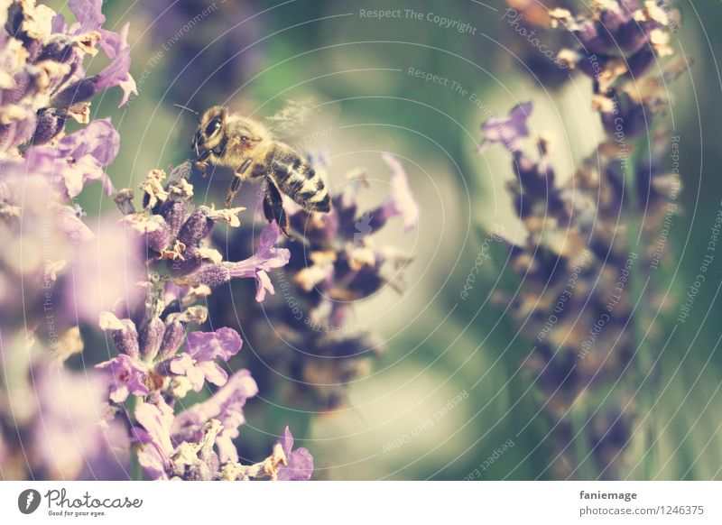 honey supplier Nature Summer Beautiful weather Warmth Blossom Garden Park Meadow Flying Airplane landing Bee Lavender Lavender field Fragrance Honey Honey bee