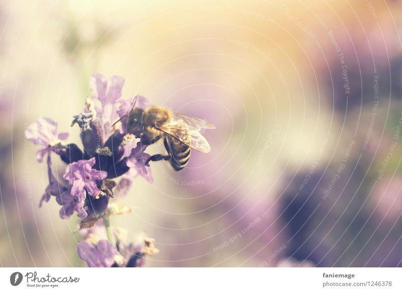 lavender honey Nature Beautiful weather Blossom Garden Meadow Field Natural Sweet Warmth Lavender Violet Honey Honey bee Bee Harvest Buzz Orange Beige