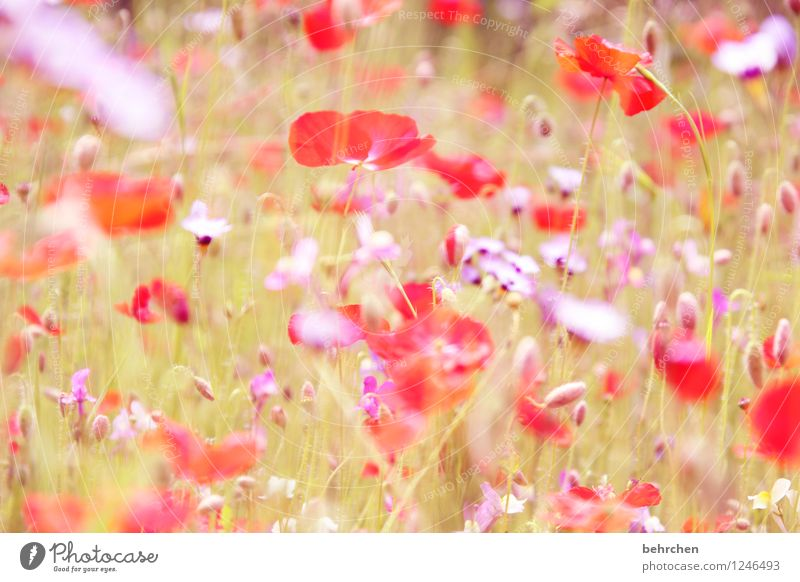 Nature Plant Beautiful Summer Flower Red Leaf Environment Spring Blossom Meadow Grass Garden Pink Park Field