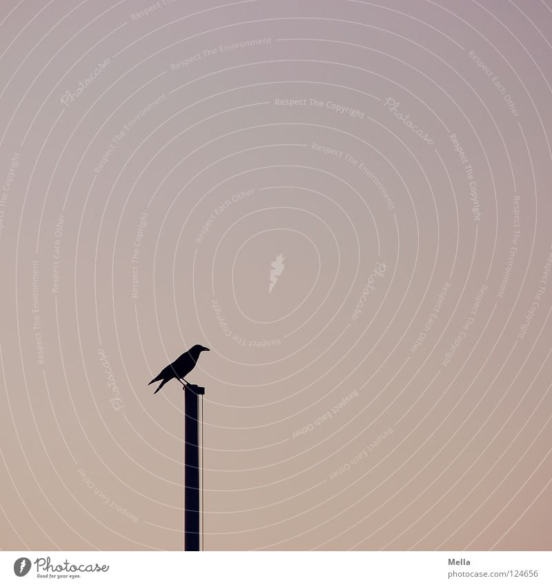 sentinel Bird Crow Raven birds Carrion crow Flagpole Crouch Looking Vantage point Individual Loneliness Minimal Empty Calm Twilight Pastel tone Silhouette Sky