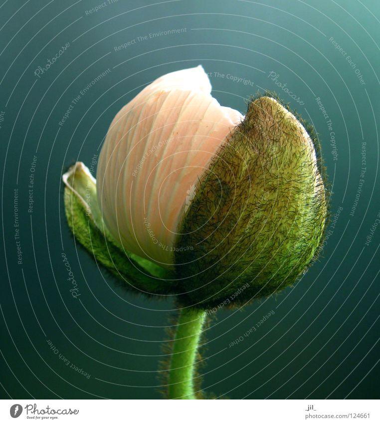 poppy - unfold ball Poppy Poppy blossom Flower Plant Deploy Undo Round Pink Green Khaki Gray Turquoise Beautiful Sphere