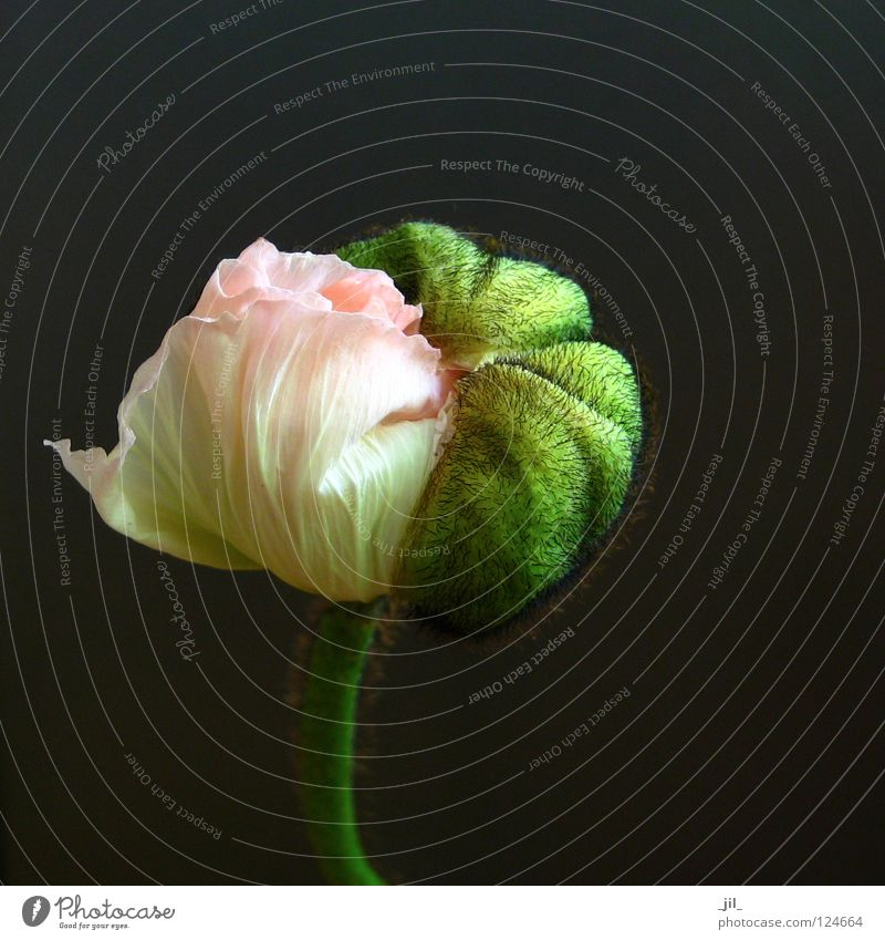 Beautiful Flower Green Plant Black Yellow Gray Pink Round Sphere Poppy Undo Intersection Deploy Poppy blossom Khaki