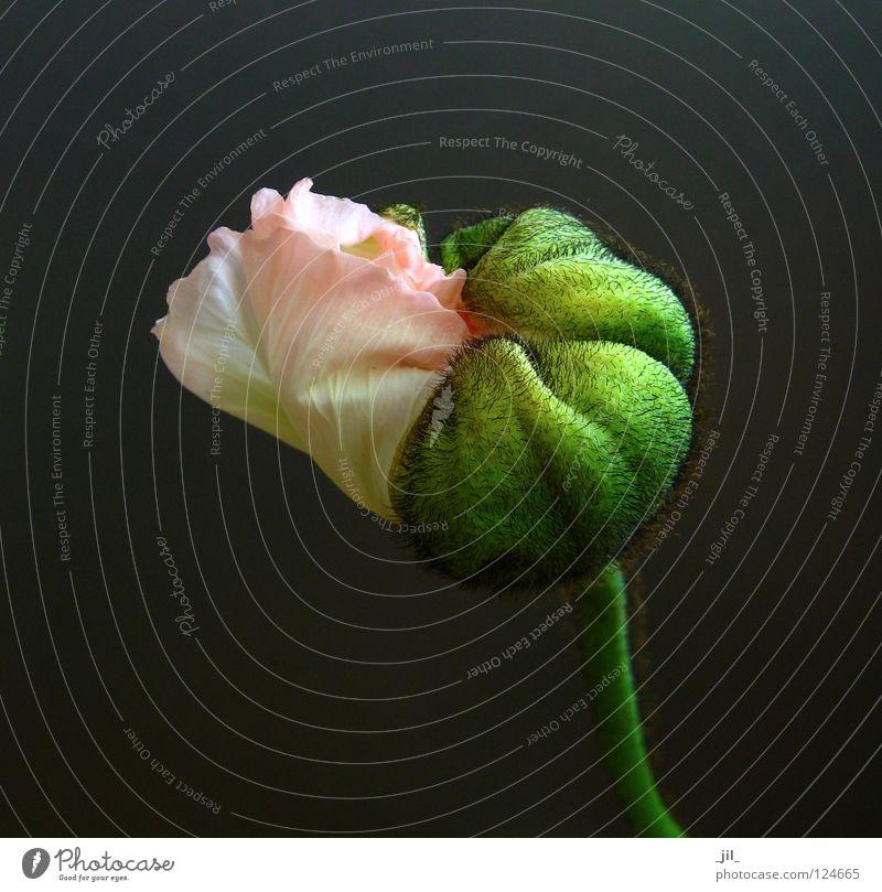 poppy - unfold: transition Poppy Poppy blossom Flower Plant Deploy Undo Pink Yellow Green Khaki Gray Black Beautiful Intersection