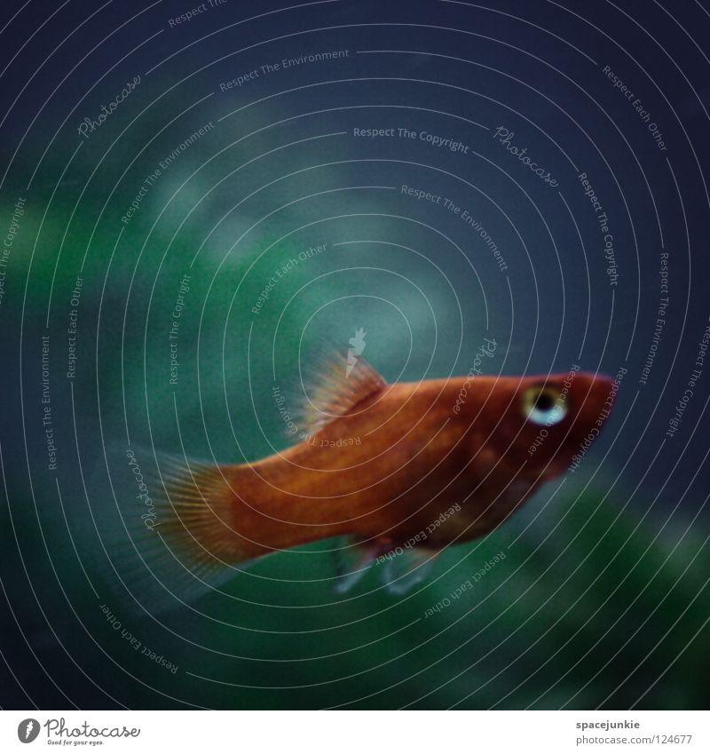 Water Ocean Joy Animal Dark Movement Lake Orange Swimming & Bathing Wet Fish Dive Hunting Dynamics Aquarium Water wings