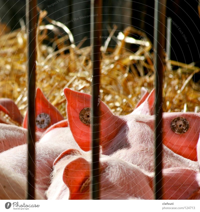 Baby animal Pink Natural Signs and labeling Group of animals Beautiful weather Ear Farm Sunbathing Mammal Grating Swine Penitentiary Straw Barn Pigs