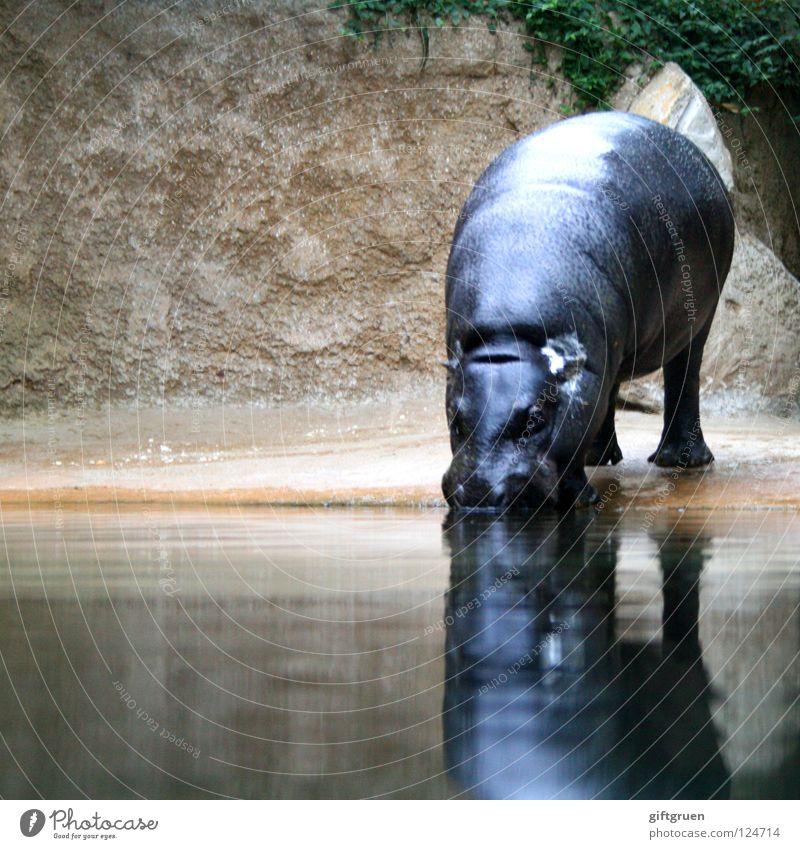 Water Animal Drinking Africa Mammal Hippopotamus Even-toed ungulate