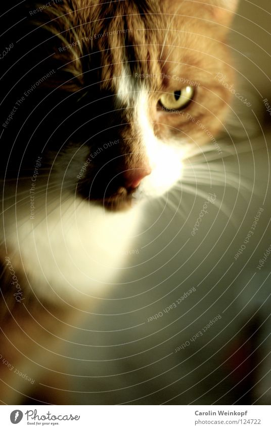 Cat White Eyes Hair and hairstyles Illuminate Ear Pelt Evil Mammal Domestic cat Snout Motionless Moustache