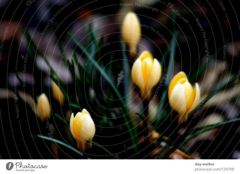 Nature Flower Green Plant Yellow Blossom Spring Depth of field Bud Garden Bed (Horticulture) Wake up Crocus