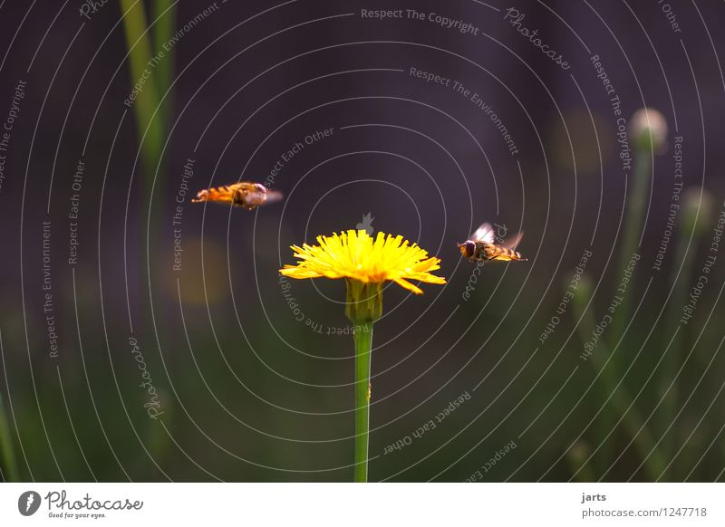 approach Summer Plant Flower Grass Blossom Garden Animal Wild animal Bee 2 Flying Nature Wasps Colour photo Exterior shot Close-up Deserted Copy Space left