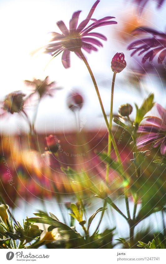 summer sun sunshine sunshine Nature Plant Summer Beautiful weather Flower Blossom Garden Fragrance Exotic Fresh Bright Natural Warmth Spring fever Colour photo