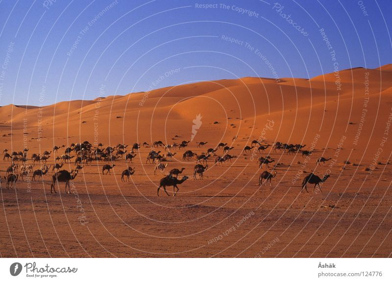 camel herd Camel Africa Libya Evening Desert Sahara Sand Beach dune Beautiful weather Dusk